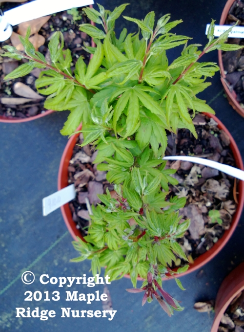 Acer_palmatum_Seiun_kaku_March_2013_Maple_Ridge_Nursery.jpg