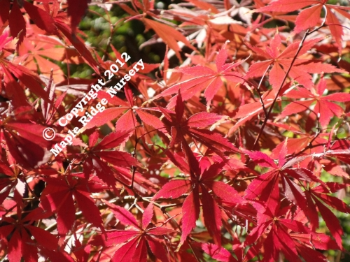 Acer_palmatum_Sherwood_Flame_November_2010_Maple_Ridge_Nursery.jpg