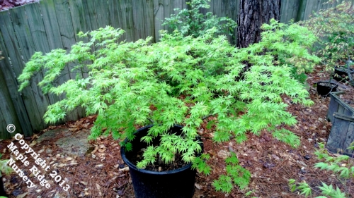 Acer_palmatum_Shigure_bato_April_2012_Maple_Ridge_Nursery.jpg