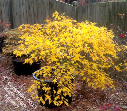 Acer_palmatum_Shigure_bato_November_2012_Maple_Ridge_Nursery.jpg