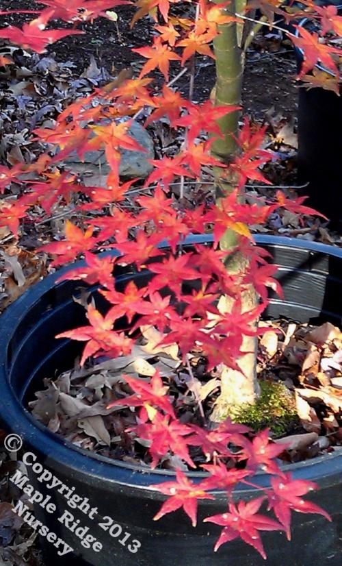 Acer_palmatum_Shin_deshojo_November_2012_Maple_Ridge_Nursery.jpg