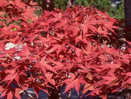 Acer_Palmatum_Shojo_Nomura_November_Maple_Ridge_Nursery.jpg