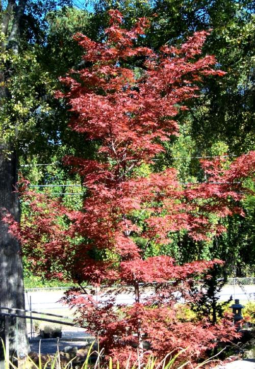 Acer_Palmatum_Shojo_Nomura_November_Maple_Ridge_Nursery_1.jpg