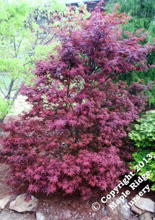 Acer_palmatum_Skeeters_Broom_April_2013_Maple_Ridge_Nursery.jpg