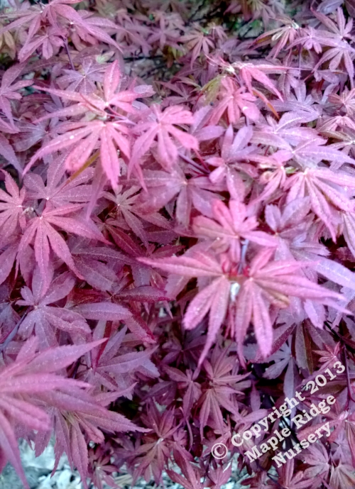 Acer_palmatum_Skeeters_Broom_April_2013_Maple_Ridge_Nursery_1.jpg