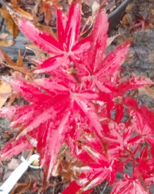 Acer_palmatum_Skeeters_Broom_November_2011_Maple_Ridge_Nursery.JPG