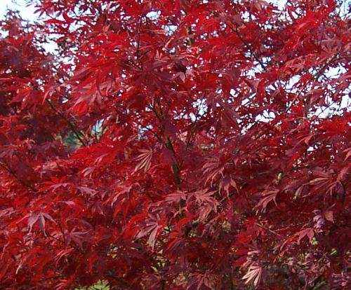 Acer_Palmatum_Sumi_nagashi_November_Maple_Ridge_Nursery.jpg