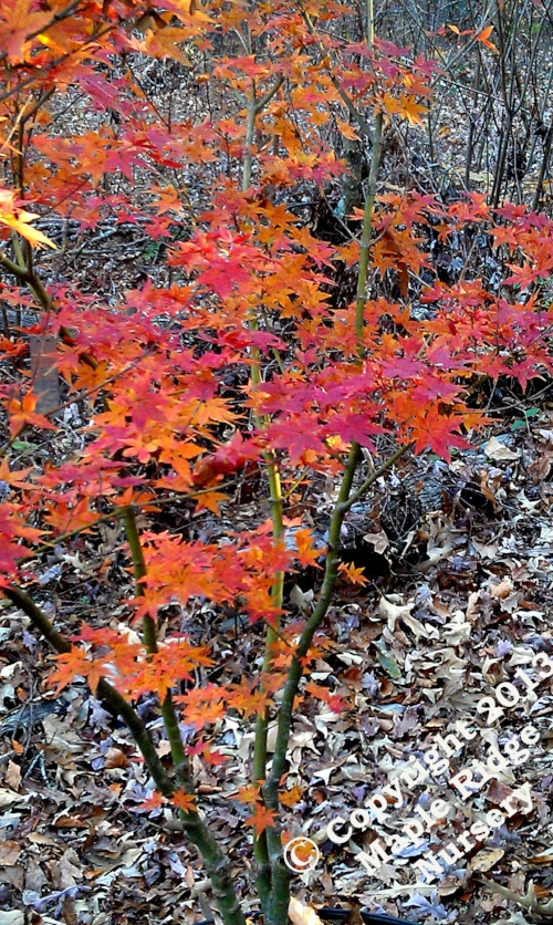 Acer_palmatum_Takao_November_2012_Maple_Ridge_Nursery.jpg