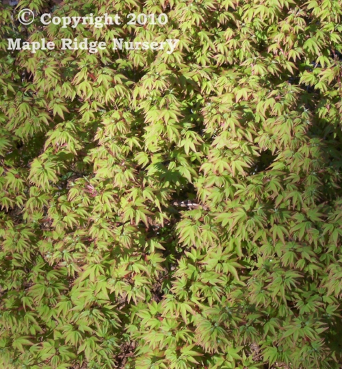 Acer_palmatum_Tama_hime_March_Maple_Ridge_Nursery.jpg