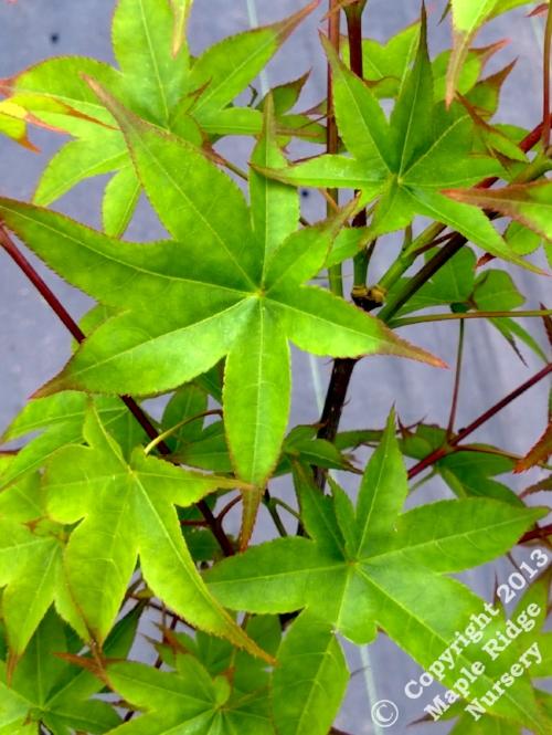 Acer_palmatum_Tana_April_2013_Maple_Ridge_Nursery.jpg