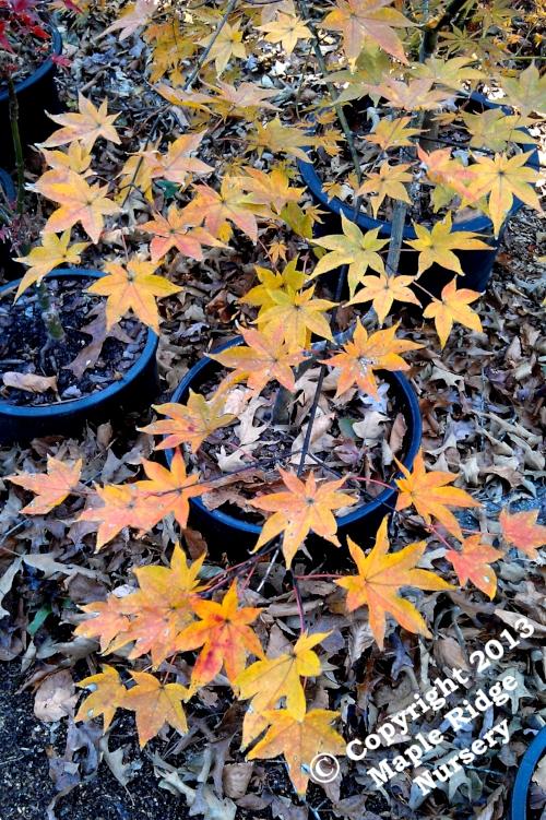 Acer_palmatum_Tana_November_2013_Maple_Ridge_Nursery.jpg