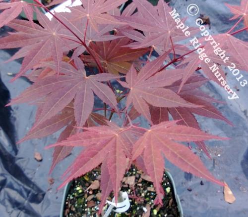 Acer_palmatum_The_Bishop_April_2013_Maple_Ridge_Nursery.jpg
