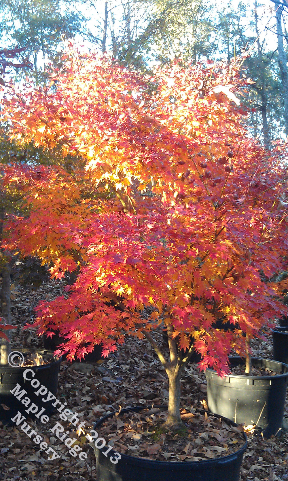 Acer_palmatum_Tobiosho_November_2012_Maple_Ridge_Nursery_1.jpg