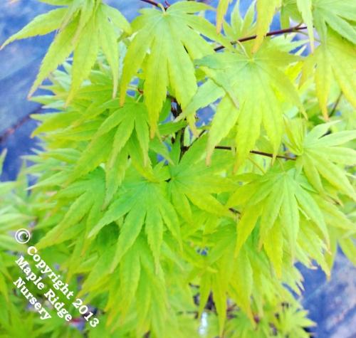 Acer_palmatum_Tobiosho_April_2013_Maple_Ridge_Nursery.jpg