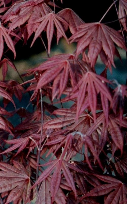 Acer_palmatum_Trompenburg_September_Maple_Ridge_Nursery.JPG