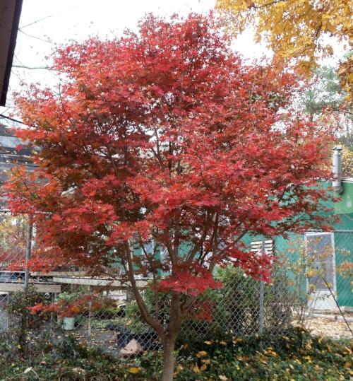 Acer_palmatum_Trompenburg_November_Maple_Ridge_Nursery.JPG