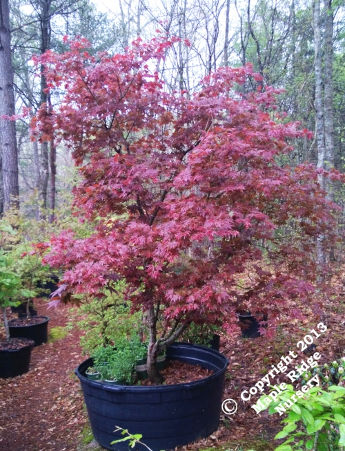 Acer_palmatum_Tsukushigata_April_2013_Maple_Ridge_Nursery.jpg