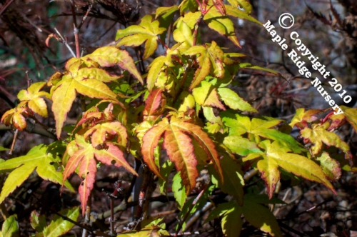 Acer_palmatum_Ueano_yama_November_Maple_Ridge_Nursery.jpg