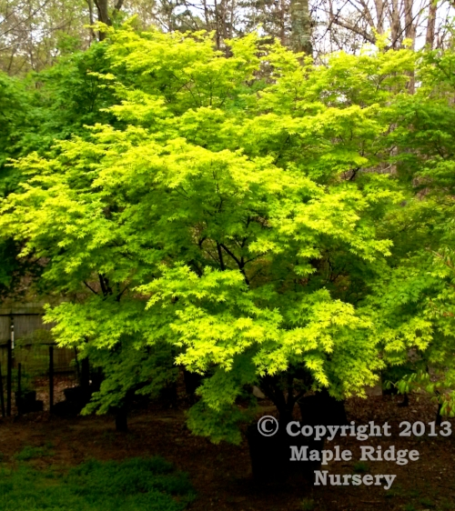 Acer_palmatum_Ueno_Yama_April_2013_Maple_Ridge_Nursery.jpg