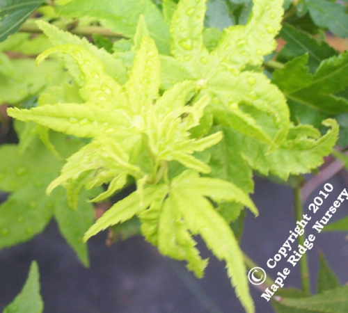 Acer_palmatum_Ueno_yama_April_Maple_Ridge_Nursery.jpg