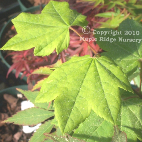 Acer_palmatum_Utsu_semi_April_2009_Maple_Ridge_Nursery.jpg
