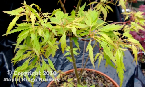 Acer_palmatum_Wabito_March_2013_Maple_Ridge_Nursery_1.jpg
