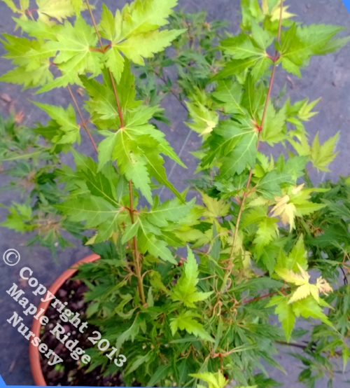 Acer_palmatum_Wabito_May_2013_Maple_Ridge_Nursery.jpg