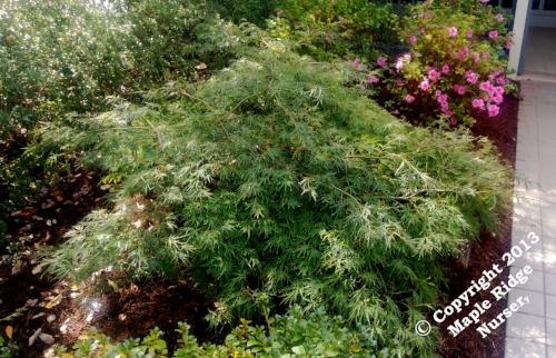 Acer_palmatum_Waterfall_2013_Maple_Ridge_Nursery.jpg