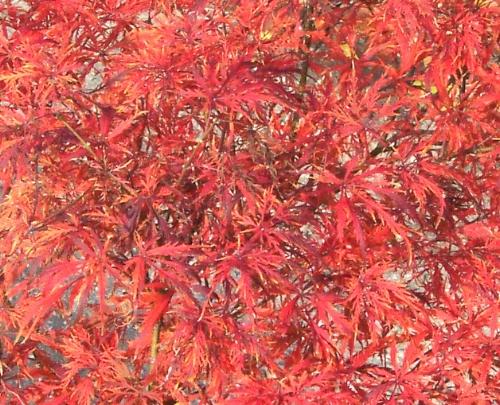 Acer_palmatum_Watnong_November_Maple_Ridge_Nursery.jpg