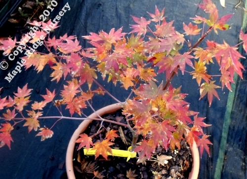 Acer_shirasawanum_Garden_Glory_November_2012_Maple.jpg