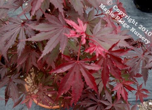 Acer_shirasawanum_Gloria_April_2012_Maple_Ridge_Nursery.jpg