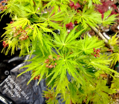 Acer_shirasawanum_Green_Snowflake_March_2013_Maple_Ridge_Nursery.jpg