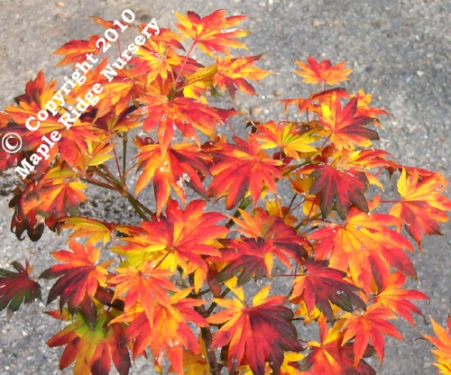 Acer_Shirasawanum_Palmatifolium_November_Maple_Ridge_Nursery.jpg