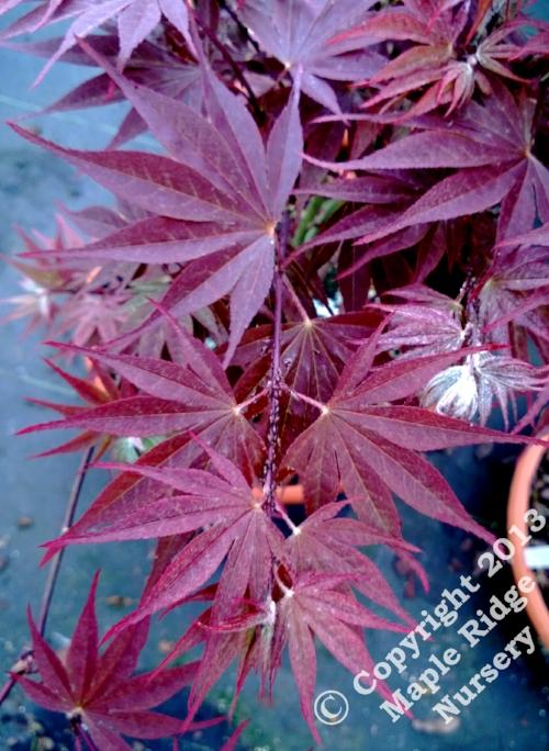 Acer_shirasawanum_Red_Dawn_April_2013_Maple_Ridge_Nursery_1.jpg