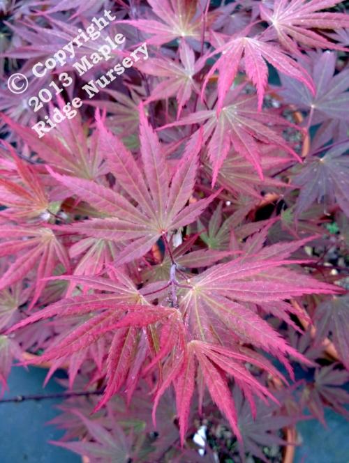 Acer_shirasawanum_Shira_Red_April_2013_Maple_Ridge_Nursery.jpg