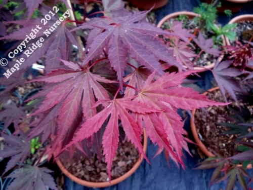 Acer_shirasawanum_Shira_Red_April_2012_Maple_Ridge_Nursery.jpg