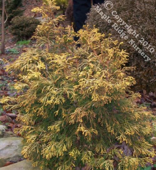 Chamaecyparis_obtusa_Golden_Whorl_Winter_Maple_Ridge_Nursery.jpg