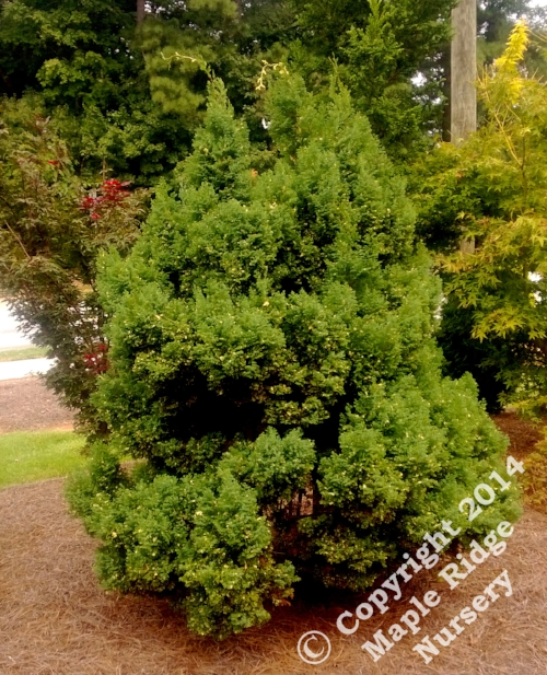 Chamaecyparis_obtusa_Snowflake_Maple_Ridge_Nursery.jpg