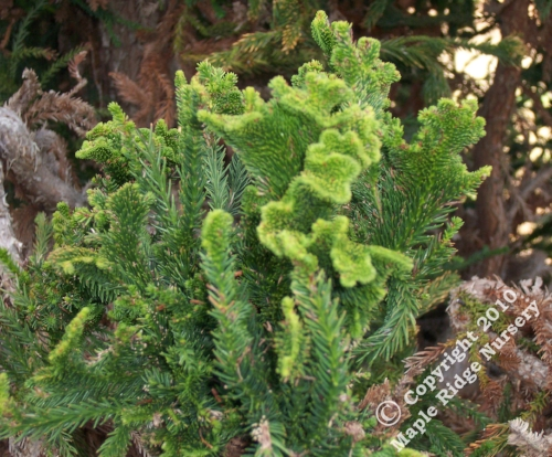 Cryptomeria_japonica_Cristata_Maple_Ridge_Nursery.jpg