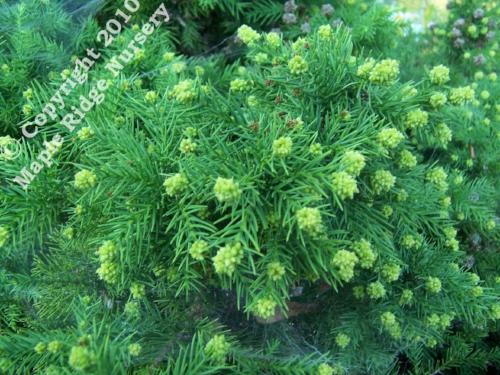 Cryptomeria_japonica_Elegans_Nana_fall_Maple_Ridge_Nursery.jpg
