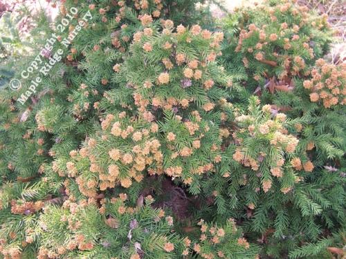 Cryptomeria_japonica_Elegans_Nana_Winter_Maple_Ridge_Nursery.jpg