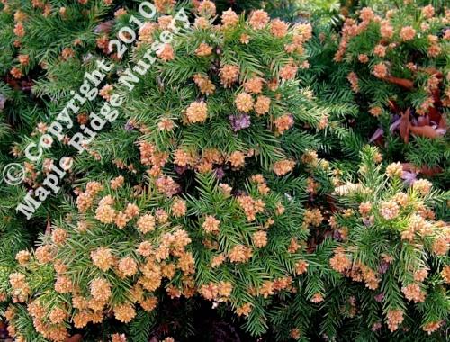 Cryptomeria_japonica_Elegans_Nana_Winter_Maple_Ridge_Nursery_1.jpg