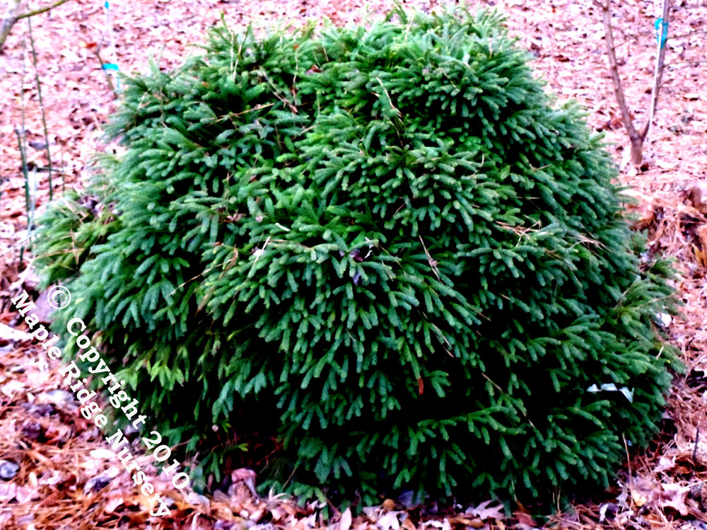 Cryptomeria_japonica_Globosa_Nana_Maple_Ridge_Nursery.jpg