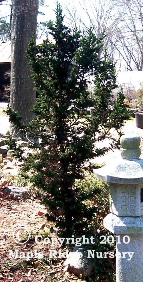Cryptomeria_japonica_Monstrosa_Maple_Ridge_Nursery.jpg