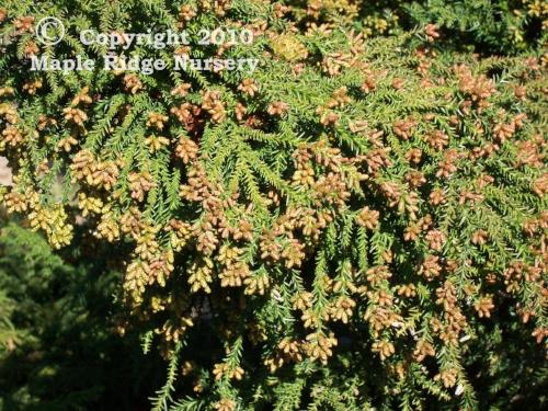 Cryptomeria_japonica_Tansu_winter_Maple_Ridge_Nursery.jpg