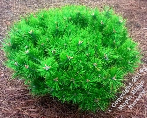 Pinus_densiflora_Low_Glow_Maple_Ridge_Nursery.jpg