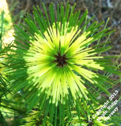 Pinus_densiflora_Oculus_Draconis_Maple_Ridge_Nursery.jpg