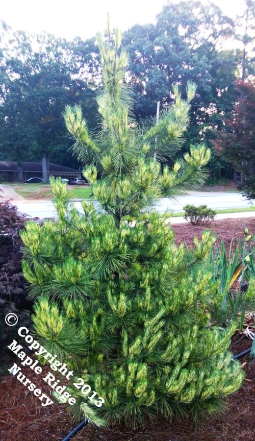 Pinus_densiflora_Oculus_Draconis_2013_Maple_Ridge_Nursery.jpg