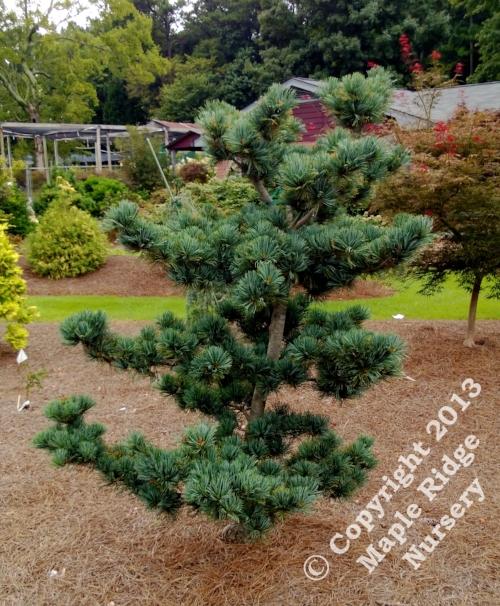 Pinus_parviflora_Glauca-2013_Maple_Ridge_Nursery.jpg