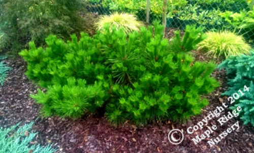 Pinus_thunbergii_Banshosho_2014_Maple_Ridge_Nursery.jpg